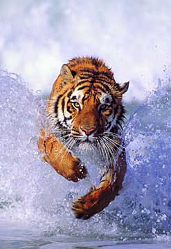 Tiger in the Surf